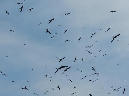 Aves fragatas en vuelo