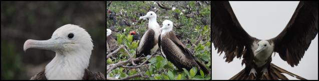 Juveniles: cabeza blanca, alas y dorso marrón-negro y patas rojas